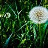 allergy-pollen[1]